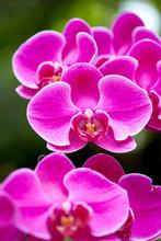 Macro Of Orchid Flower