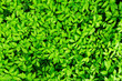 lush green leaves background
