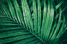 Rain Droplets On Green Tropical Palm Leaf, Purity Nature Background