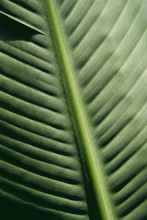 Banana Leaf Closeup Background