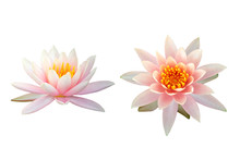 Beautiful Pink Lotus Flower Isolated On White Background.
