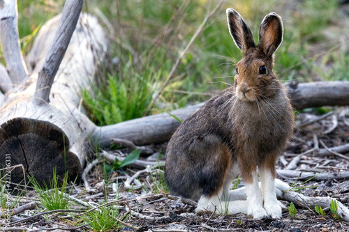 A wild snowshoe hare in Yellowstone National Park (Wyoming) Canvas-taulu