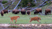 Wild Bison In Yellowstone National Park (Wyoming).