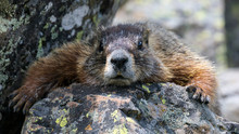 Wild Marmot In Yellowstone Nat...