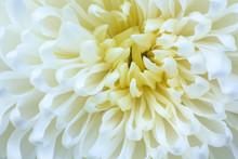 Freshness White Chrysanthemums...
