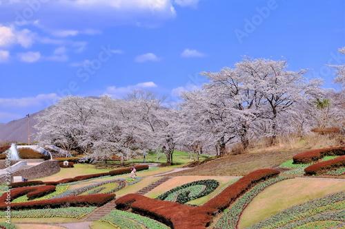 Foto  青空と満開のソメイヨシノ