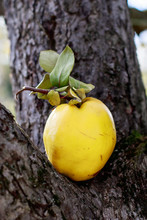 Quince Fruit On Tree Branch