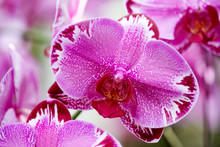 Macro Of Orchid Flower