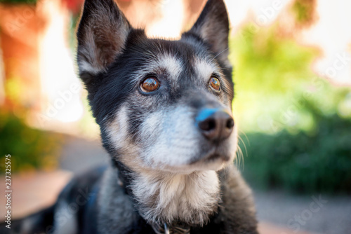 Fotografia Shepherd Mix with Soulful Eyes