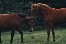 Gorgeous Horses Pasturing And Playing
