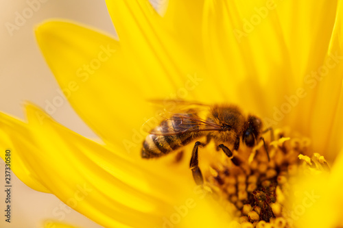 Fotobehang Bee Bee collects honey on a yellow flower