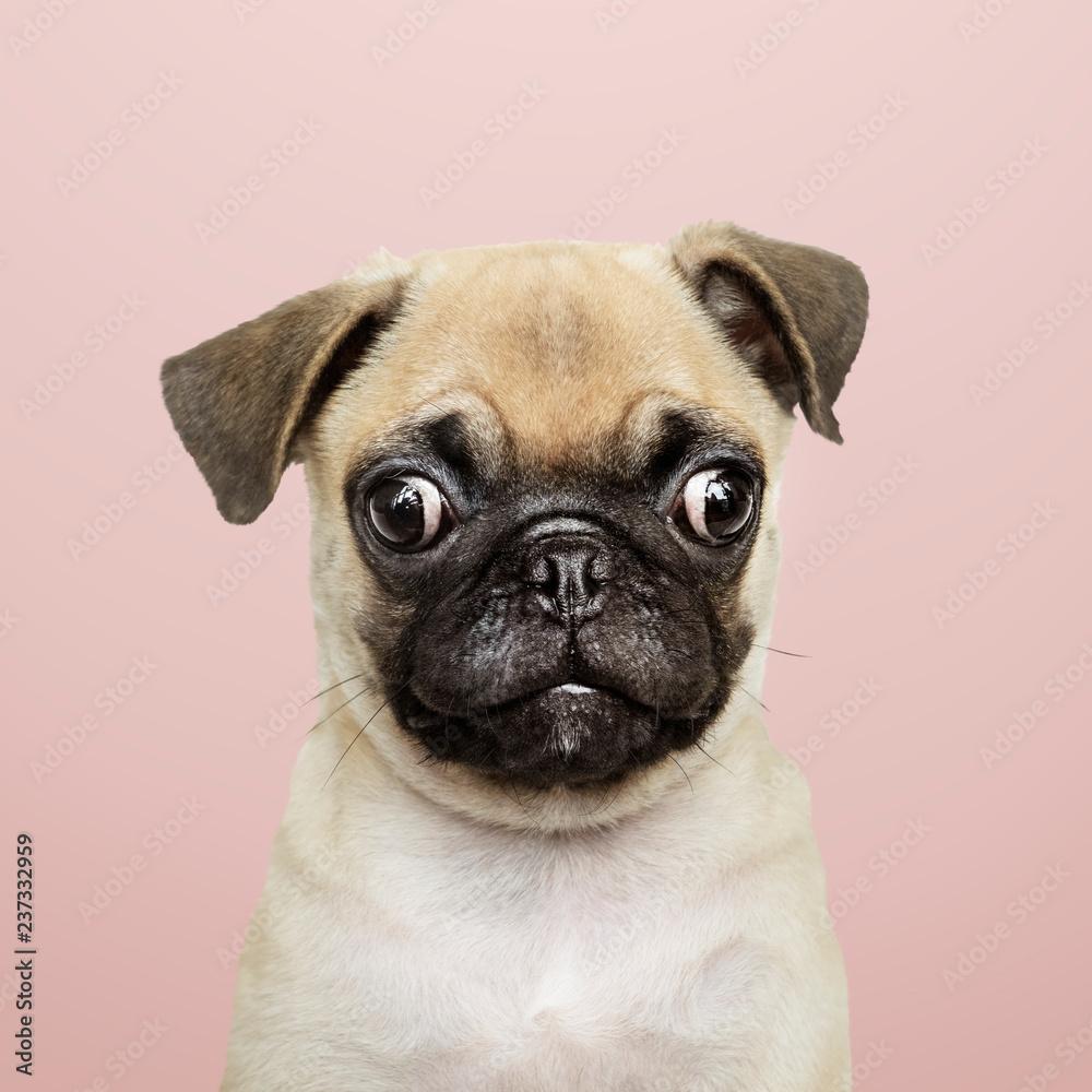 Fototapety, obrazy: Adorable Pug puppy solo portrait