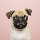Adorable Pug puppy solo portrait - 237332959
