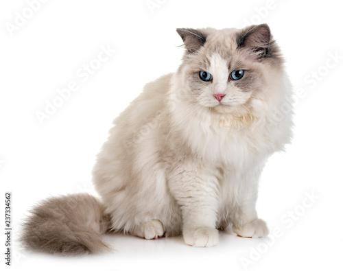 Valokuvatapetti ragdoll cat in studio