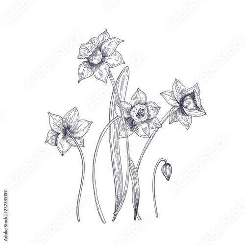 Fotografia Blooming tender narcissus flowers isolated on white background