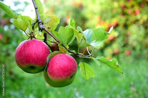 Reife rote Äpfel am Baum - Apfelernte in Südtirol