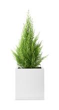 Cypress Tree On White Background