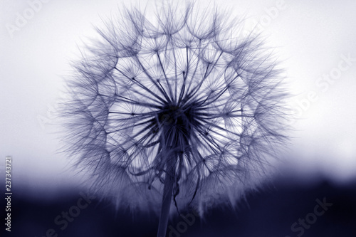 Poster Paardenbloem dandelion seeds close up