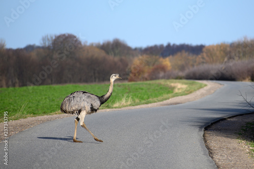 american greater rhea or nandu (Rhea americana) crosses a country road in Mecklenburg-Western Pomerania, Germany, new danger for traffic since 2000 a few animals escaped from a farm, copy space