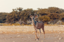 Greater Kudu Africa Safari Wildlife And Wilderness