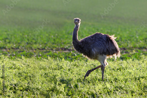 Wild american greater rhea or nandu (Rhea americana) on a field in Mecklenburg-Western Pomerania, Germany. In the year 2000 a small group of these ratites escaped from an enclosure, copy space
