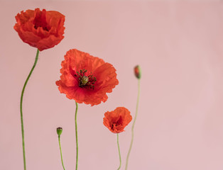 Beautiful red poppies with its buds on pink background