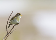 A Willow Warbler (Phylloscopus Trochilus) Perched On A Branch And Singing.With A Beautiful Clean Brown Colored Background.
