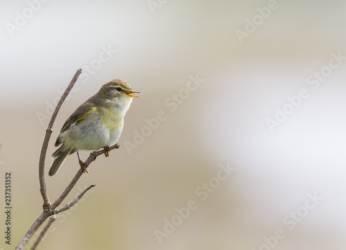 Leinwand Poster A willow warbler (Phylloscopus trochilus) perched on a branch and singing