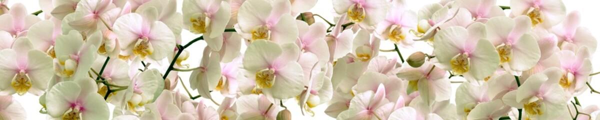 Fototapeta Storczyki White Orchid flowers