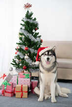 Siberian Husky Dog With Christmas Tree
