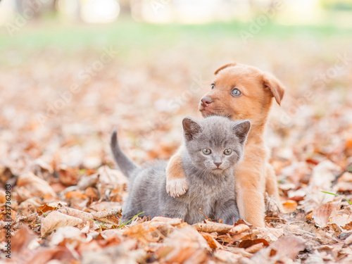 Foto  mixed breed puppy hugging a sad kitten on autumn leaves