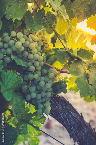 Fotografía  The vineyards in the district of Nieva (Segovia, Spain) date from the 12th century