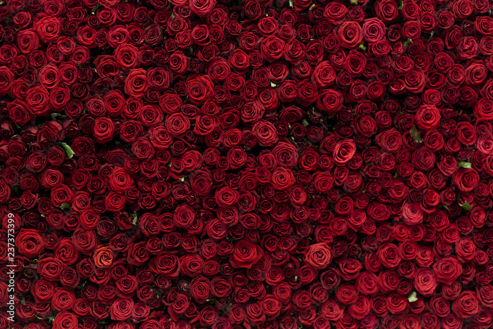 Fototapety, obrazy: Natural red roses background, flowers wall. Roses as background picture.