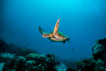 Green Turtle Cruising In Blue Water