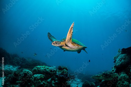 Green turtle cruising in blue water