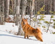 Young Finnish Spitz Standing In Boreal Forest On A Sunny Winter Day