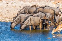 A Herd Of Blue Wildebeest (Con...