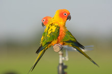 Lovely Beautiful Parrot, Sun C...