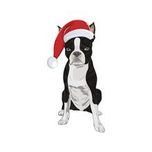 Boston Terrier Wearing Santa Hat Isolated On White Background. Santa Dog In Christmas Mood.