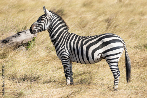 Wall Murals Zebra Full body profile portrait of common zebra, Equus quagga, up close standing in the tall grass of the Masai Mara in Kenya, Africa