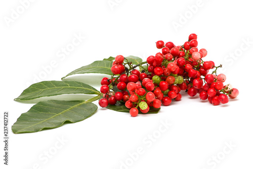 Cuadros en Lienzo Pistacia lentiscus, lentisk or mastic isolated on white background
