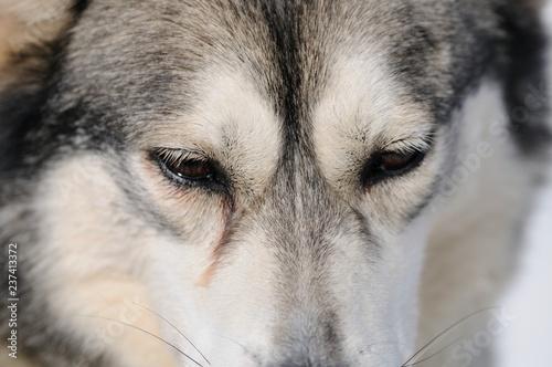 Husky sad eyes
