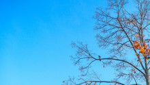 Crow Sitting On A Tree Branch In Late Autumn Against The Blue Sky