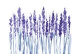 lawendowa kwiat linia na białej tło grafice. - 237418973