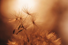Closeup Silhouette Of Dandelion Flower On Sunset. Natural Summer Background