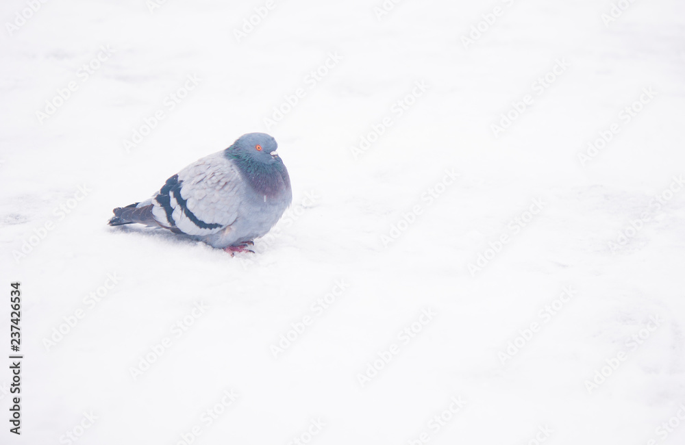 Dove sits on a snowy
