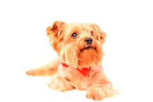 Yorkshire Terrier Portrait Isolated On White Background.