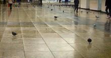 Pigeons In Old Town Zagreb Squ...