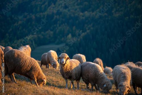 Flock of sheep in mountains in autumn season