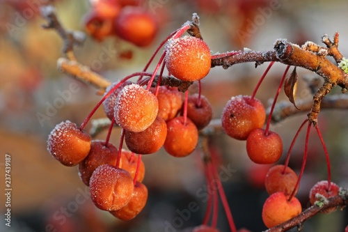 Zieräpfel mit Raureif